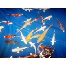 8-10 inch Grade AA Koi (Qty of 8)   (SHIPPING ON ALL BOXED KOI WILL BE $120 PER BOX)