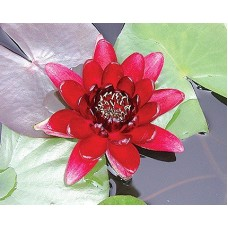 Almost Black Red Lily