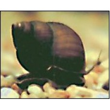 Pack of 150 Black Japanese Trapdoor Pond Snails
