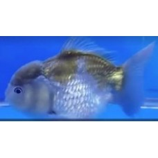 4 inch Plus Blue Oranda. (Pack size 1 goldfish.)