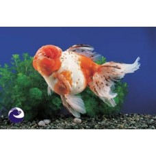 2-3 inch Calico Oranda (Qty of 4) SOLD OUT