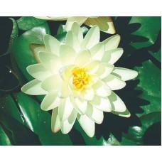 Denver White Lily