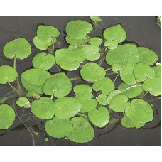 Frogbit-Floating