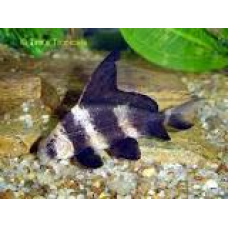 3-4 inch Hi Fin Banded Sharks (Qty of 4)