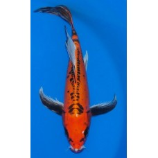 15 inch Beni Kikokuryu Female (SOLD)