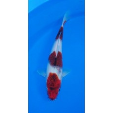 12 inch Budo Goromo Female (SOLD)