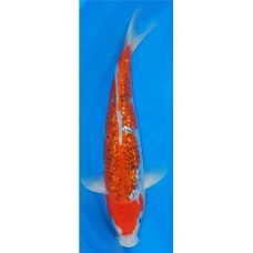 15 inch Gin Rin Goshiki Female (SOLD)