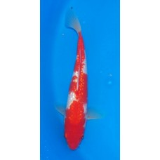 "11"" Gin Rin Kohaku Female (SOLD)"