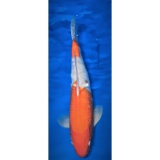 GinRin Kohaku 16 inch Female 2yo (SOLD)