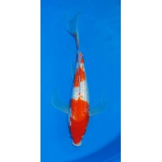 13 inch Gin Rin Kohaku Long Fin Female (SOLD)