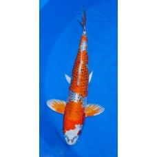 14 inch Kujaku Male (SOLD)