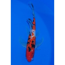 11 inch Gin Rin Sanke Long Fin Male (SOLD)