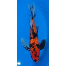 15 inch Gin Rin Showa Female Long Fin (SOLD)
