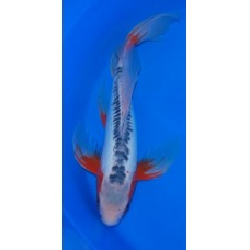 17 inch Shusui Male Long Fin (SOLD)