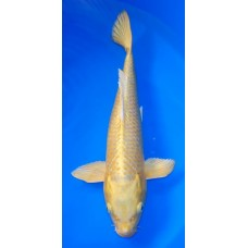 15 inch Yamabuki Ogon Female (SOLD)