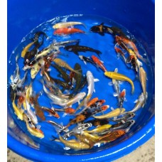 4-6 inch Grade AA Koi  (Qty of 10)   (WITH FREE Shipping)
