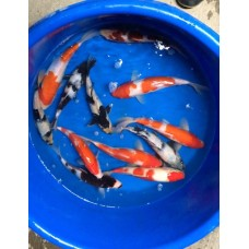 8-10 inch AAA Grade Koi (Qty of 3)   (FREE Shipping) Picture is only a sample of what you will get.