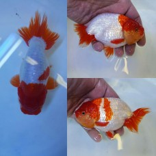 4 inch plus R/W Ranchu. (Pack size 1 goldfish)