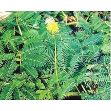 Large Leaf Sensitive Plant