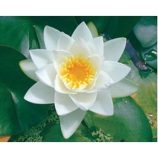 Virginalis White Lily