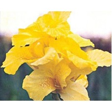Yellow Water Canna