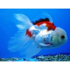 3-4 inch Red/White Oranda (Qty of 4) SOLD