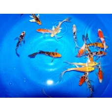 8-10 inch Grade A Koi (Qty of 3)   (SHIPPING ON ALL BOXED KOI WILL BE $120 PER BOX)