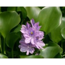 Jumbo Water Hyacinth