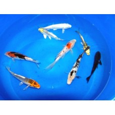 6-8 inch Grade A Koi (Qty of 8) SHIPPING ON ALL BOXED KOI WILL BE $120 PER BOX