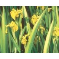 Variegated Yellow Iris